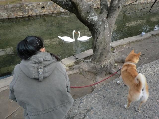 倉敷美観地区 白鳥