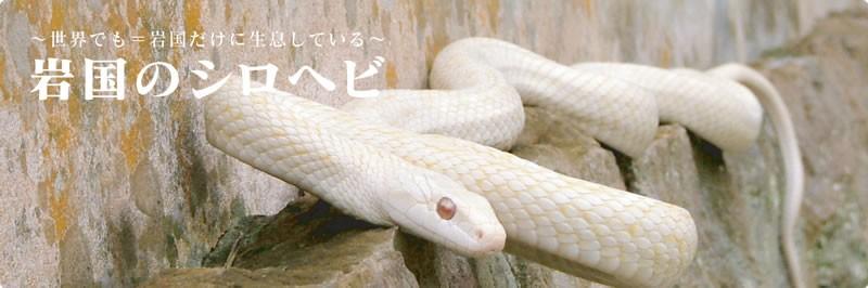 iwakuninoshirohebi